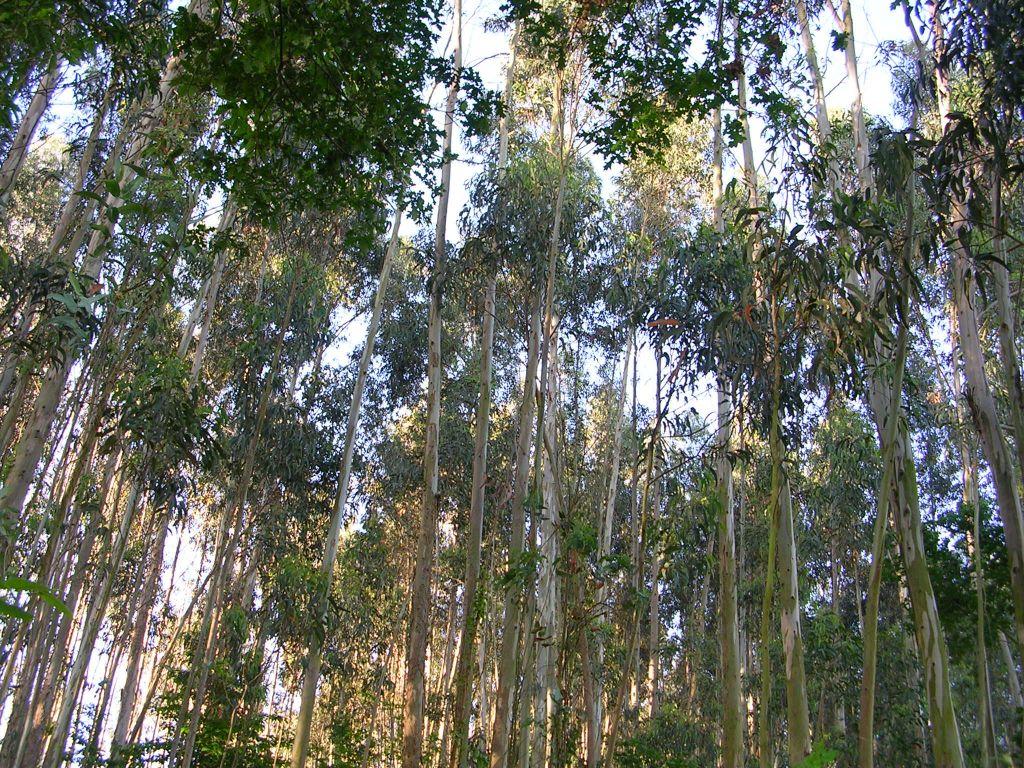 Grupos ecologistas piden una moratoria sobre la plantación de eucaliptos en Asturias
