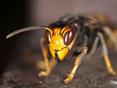 El Principado entrega a Vegadeo sólo 15 trampas- y sin atrayente- para capturar avispón asiático