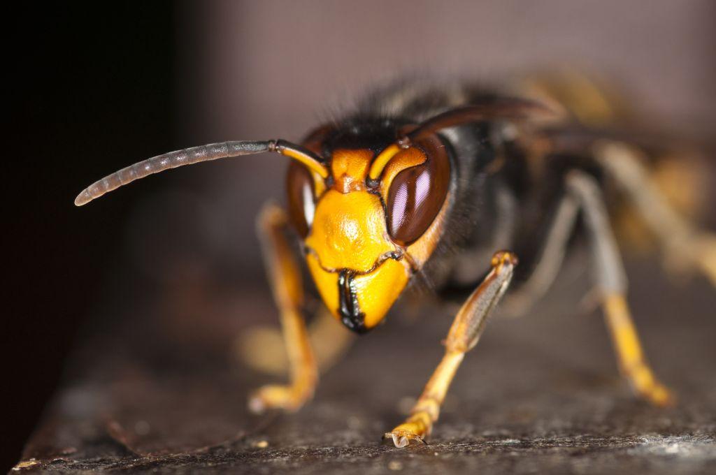 El ayuntamiento de Vegadeo volverá a repartir trampas para capturar avispón asiático