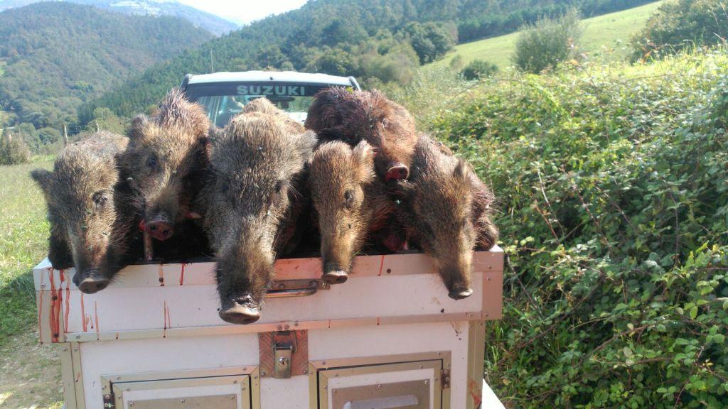 80 Jabalíes cobrados en los Cotos de la Comarca en las últimas Batidas