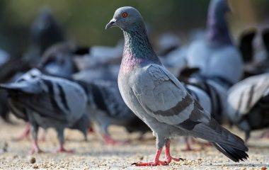 El ayuntamiento de Vegadeo ha recibido diversas propuestas para controlar las palomas