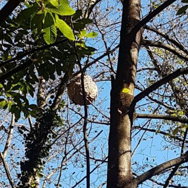 Vegadeo repartirá un centenar de trampas para capturar avispón asiático