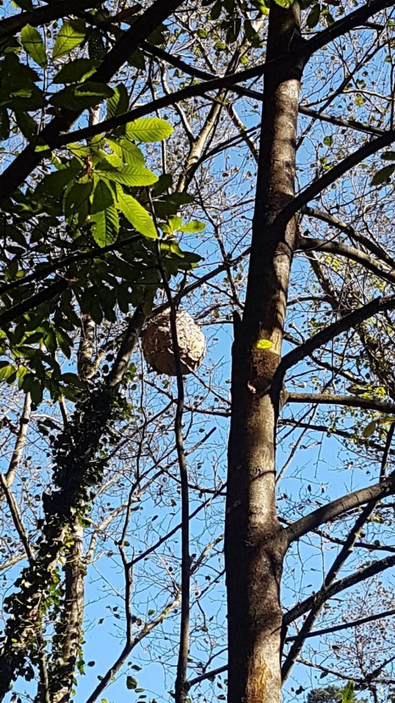 Jornada sobre avispón asiático en Navia