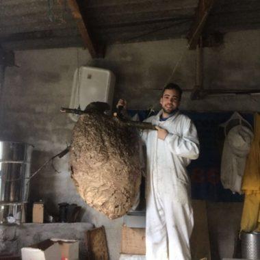 Retiran un nido de avispón asiático en Vista Alegre (Valdés) de 169 cm de diámetro