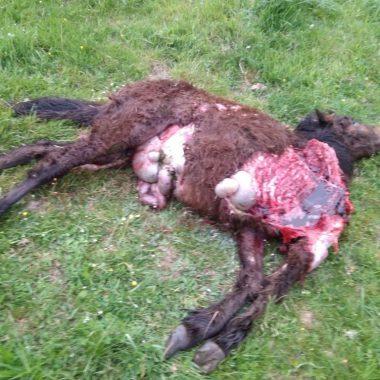USAGA vuelve a denunciar el tercer ataque de lobos en Villanueva de Oscos, en menos de 15 días