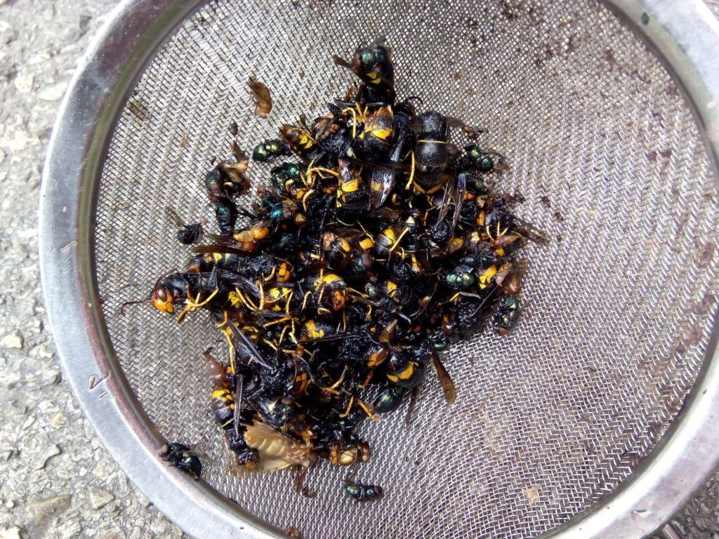 Los tres equipos que trabajan en el Principado retoman la retirada de nidos de avispón asiático