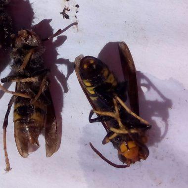 "Marino Fernández localiza ""zánganos de avispón asiático"" en nidos primarios de velutina"
