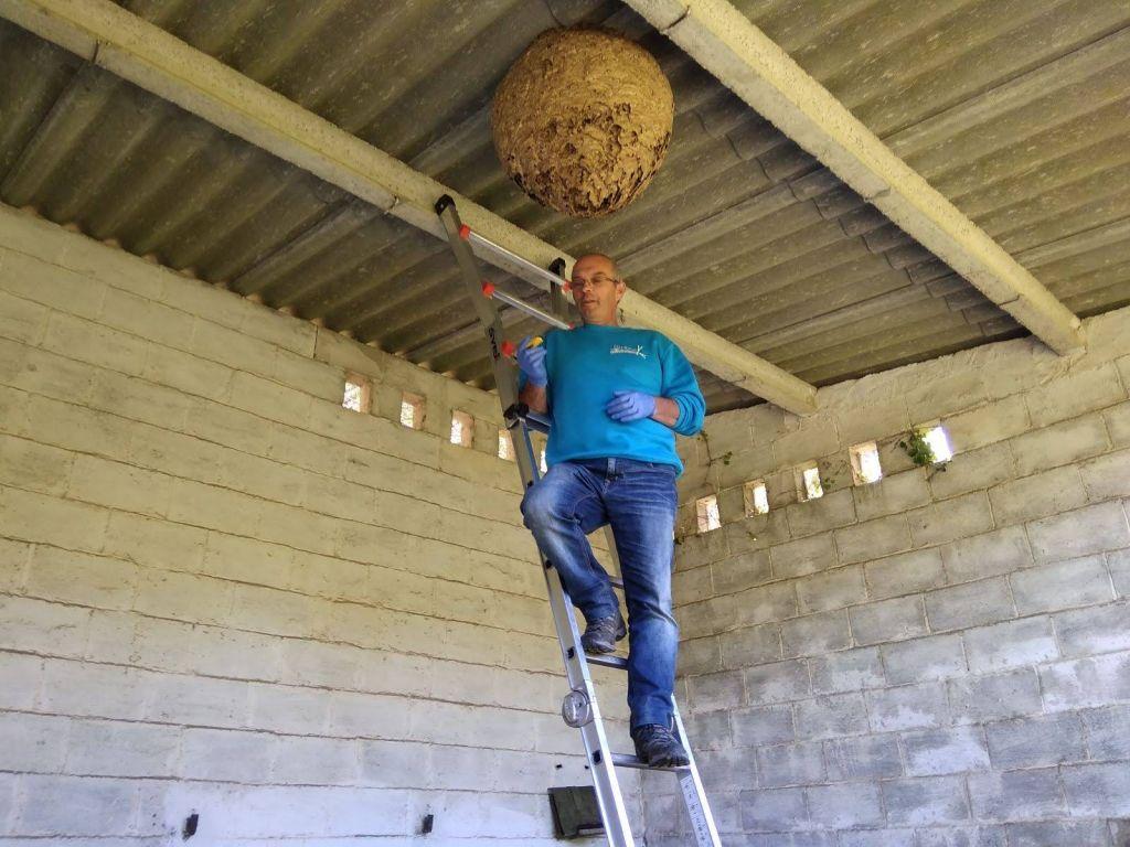 Marino Fernández asegura que se ha reducido la población de avispón asiático en el Occidente asturiano