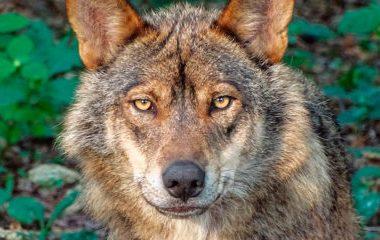 El Principado rechaza la inclusión del lobo en el Listado de Especies en Régimen de Protección Especial