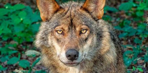 El lobo, incluído en el LESPRE, no se podrá cazar en España; la consejería de Medio Rural asturiana recurrirá la decisión del Ministerio