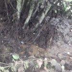 La Coordinadora Ecologista denuncia nuevos vertidos de purines en Concernoso (Valdés)