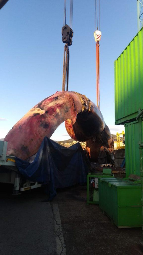 El cadáver de la ballena que ayer se recuperó en Navia viaja ya hacia las instalaciones de Cogersa (en Serín)