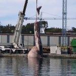 Aparece la aleta caudal de la ballena echada a tierra en Navia en agosto pasado