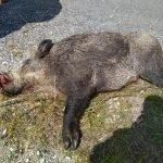 72 Jabalíes cobrados en las últimas Batidas en los Cotos de la Comarca