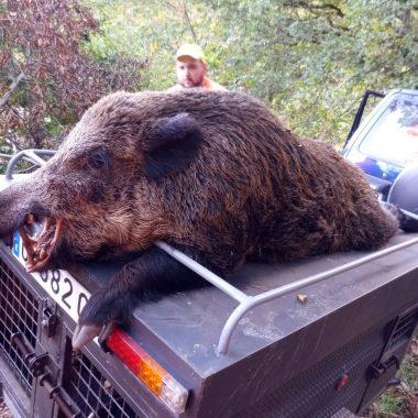 La Cuadrilla de La Montaña cobró un Jabalí de 119 kilos en el Coto de Illano