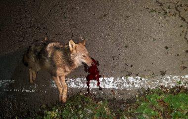 La Coordinadora Ecologista de Asturias pide un plan de control del lobo basado en datos científicos