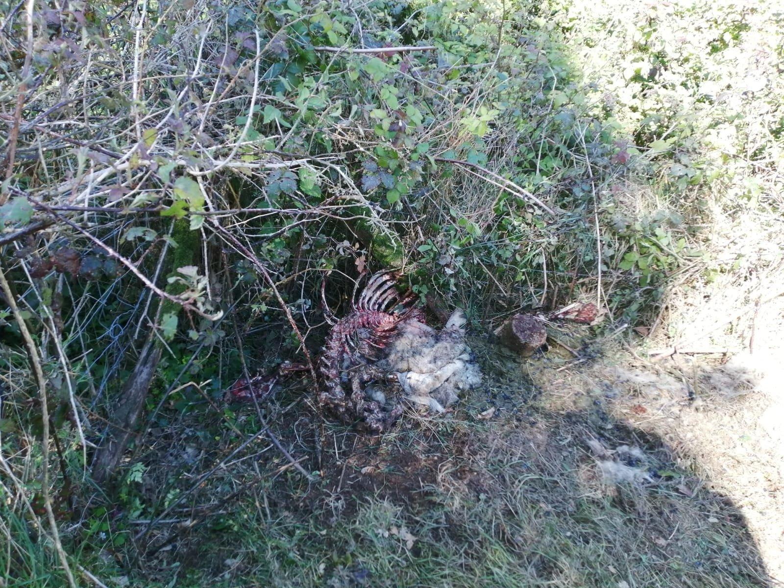 Los vecinos de Lendepeña (Valdés) preocupados por los daños ocasionados por los lobos