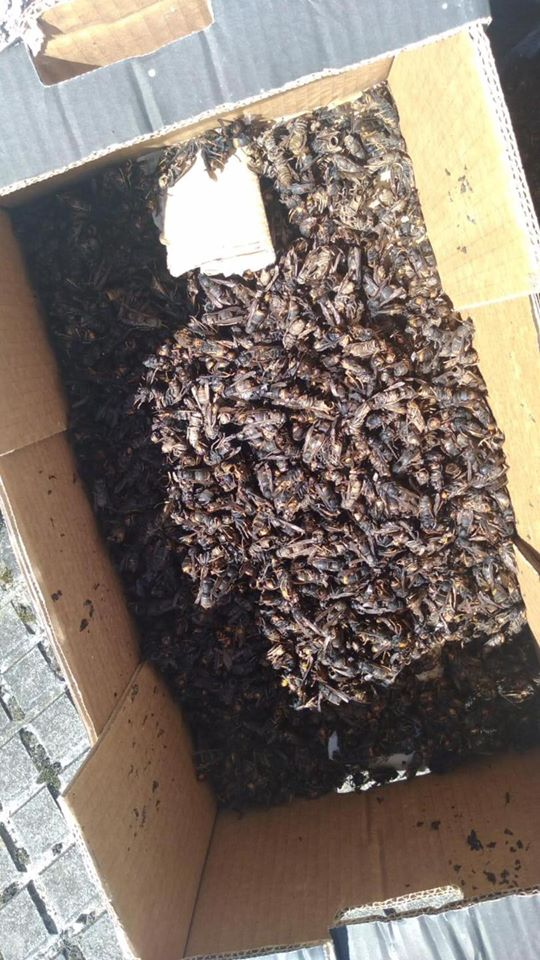 El proyecto para el control de la avispa asiática del Ayuntamiento de Tineo ha permitido capturar 6000 reinas.