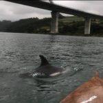 El CN Villa de Navia inició los entrenamientos en aguas abiertas; en la tarde del miércoles coincidieron con la presencia de Dos Delfines en la Ría Naviega