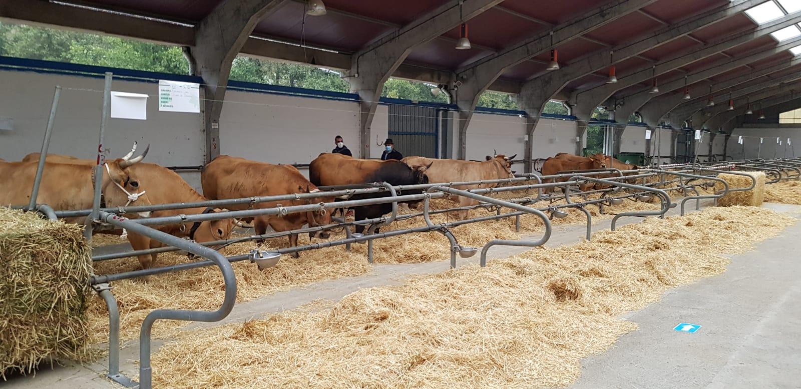 235 reses de treinta ganaderías participan en la XXXV Muestra Ganadera de la raza Asturiana de los Valles en Cangas del Narcea