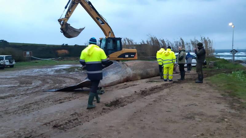 Sacan de la playa de Serantes el cadáver del rorcual boreal varado ayer