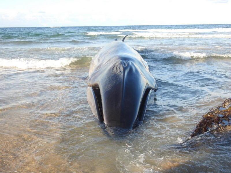 Vara un rorcual boreal de 13 metros en la playa de Serantes (Tapia de Casariego)