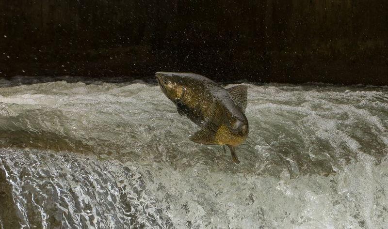 El Principado comienza las repoblaciones de salmón en los ríos del Parque Natural de Ponga