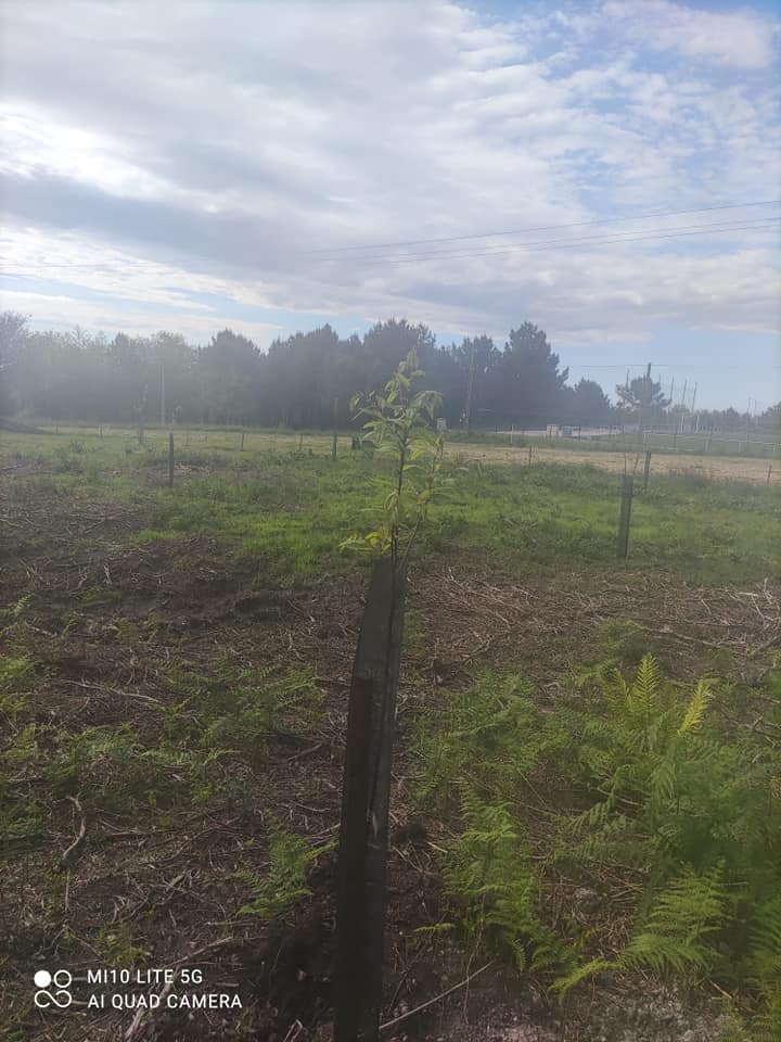La Parroquia Rural de Barcia-Leiján busca nuevos usos al monte con una plantación experimental de castaños y boletus