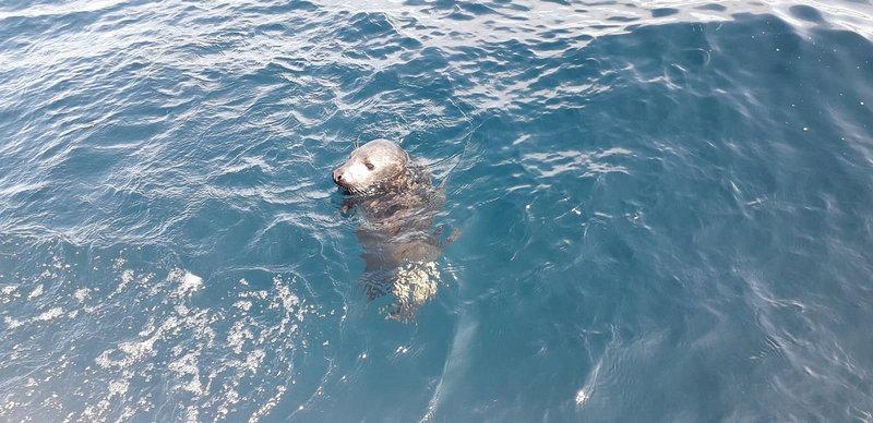El Principado libera a diez millas de la costa una cría de foca gris recogida en febrero