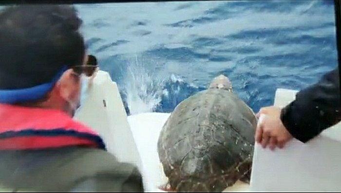 El Principado libera una tortuga boba recogida en junio a 20 millas de la costa