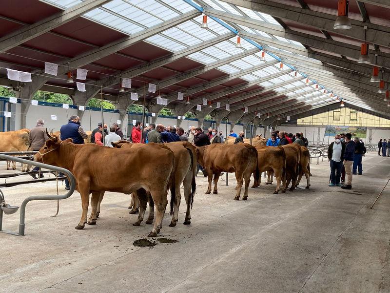 El Certamen de Asturiana de los Valles de Cangas del Narcea contará con la participación de 51 ganaderías